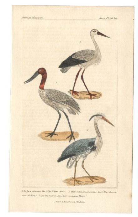 1834 BIRDS WHITE STORK AMERICAN JABIRU GREAT OR COMMON HERON Cuvier Antique Print